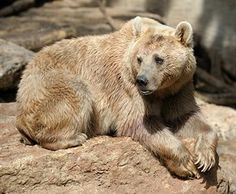 The Gobi bear (Ursus arctos gobiensis) is much smaller than its cousins, the brown bears. This bear, also known as Mazaalai bear in local Mongolian language, can be found in the rocky regions of the Gobi desert. It is an omnivore with a diet consisting of berries, grass roots, lizards and mice etc. It also eats insects and grasshoppers. The Gobi bear is on the endangered animals list with only about 30 left.