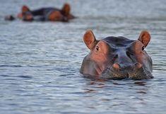 Nilpferd, Flusspferd, Tier,