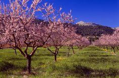 Auf Mallorca sterben die Mandelbäume: Ist es mit dieser Pracht bald vorbei? - TRAVELBOOK.de