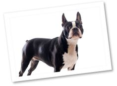 Boston Terriers are spunky, well-loved family pets. They are intelligent and enjoy playing but do not require too much exercise.