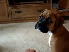 My grandson boxer puppy. Tully is 9 weeks old. <3