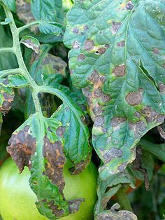 Early blight on tomato plant For many tomato growers, the question isn't if tomato diseases will show up, but when. Fortunately, there are steps you can take to minimize problems. Growing Tomatoes In Containers, Growing Vegetables, Growing Plants, Grow Tomatoes, Tomato Plant Diseases, Tomato Plants, Tomato Tomato, Covent Garden, Organic Gardening