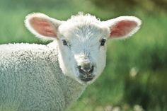 Jedyny taki wypas! Tylko w Józefowie! Sprawdź: http://puszystaowca.pl/wypas-owiec-jozefow/