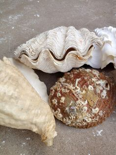 A Collection Of Large Vintage Sea Shells by PocketFullOfHeirloom, $49.99