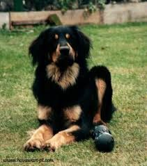 black and tan hovawart - Google zoeken