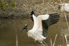 Wood stork gets ready to take flight