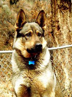 My German Shepherd, Yukon.