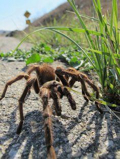 Tarantula by PhotoStrokes.net, via Flickr