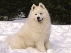 Samoyed Dog in Snow, USA Photographic Print by Lynn M. Stone at ...