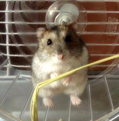Herman my dwarf hamster