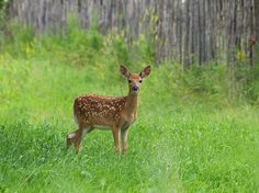 The Most Adorable Baby Fawns