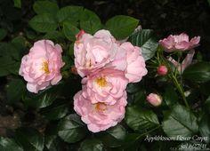 'Appleblossom Flower Carpet' = Mareva