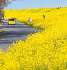 - 🔥 Yellow Roadsides in Japan 🔥 – recent sceneries nature , diy , beautiful , stuff , beauty Amazing Photography, Landscape Photography, Nature Photography, Travel Photography, Photography Ideas, Flower Photography, Beautiful World, Beautiful Places, Beautiful Flowers