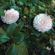 Camellia  Latin name: Camellia japonica  Zone 7-9
