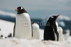 Penguins in Antarctica - Buy this stock photo and explore similar images at Adobe Stock Gentoo Penguin, Red Bill, Antarctica, Penguins, Frozen, Wildlife, Birds, Ice, Snow