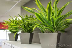 File top dracaena lemon lime 3