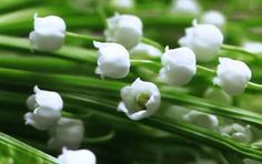 Lily of the Valley, so delicate, tiny, fraguant and precious