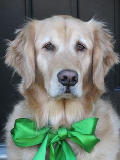 what a beautiful dog! OP writes: My Maggie came home wearing a big green bow.  Love this photo and her <3  RIP Maggie Mae.