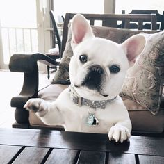 """""""I has question.....where's my treat?"""" adorable French Bulldog."""
