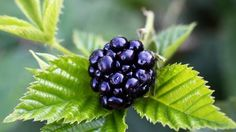 Pěstování ostružin: Jen na slunci dozrají do plné, sladké chuti