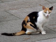 calico cat | Description Calico cat in La Coruna of Spain-01.jpg