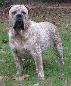 Olde English Bulldogg~ He's a beast! I shall name him ELVIS =)
