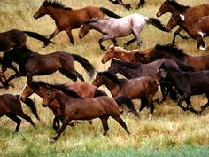 Brumbies - Australian wild horses descended from escaped horses of the early settlers
