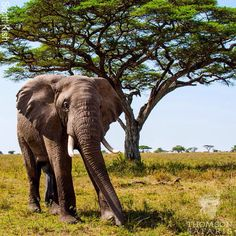 Magnificent #Elephant in #Tanzania#Africa#EastAfrica#Nature #Travel #Animal