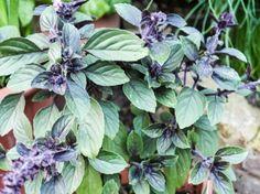 Esta planta poco conocida pertenece a la familia Lamiaceae ( Ocimum kilimandscharicum ) también conocida como albahaca africana o albahaca de Kenia. Es una planta arbustiva perenne de 90 cm a 1 m de altura. Su tallos, altamente ramificados, soportan grandes hojas de color verde oscuro y veteadas de color púrpura. Sus flores de color rosa violáceo, púrpura o azul agrupadas en espigas largas que florecen durante todo el verano. Las hojas se utilizan de la misma forma que las de otras albahacas