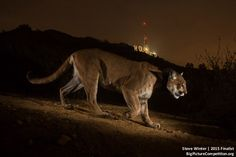 2015 Competition Winner: Hollywood Cougar