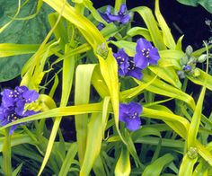 Spiderwort-wet areas