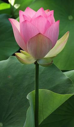 Pretty Pink Lotus Flower - Beautiful Flowers - www.a-women.com    Flowers Flowers  Flowers