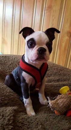This might be the cutest Boston I have ever seen!!