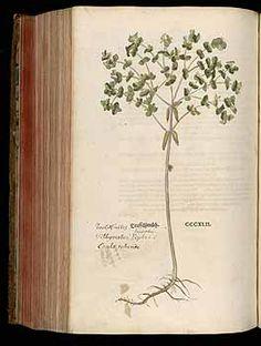184758 Euphorbia peplus L. [as Tithymalus]  / Fuchs, L., New Kreüterbuch, t. 342 (1543)