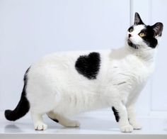 This abandoned black-and-white cat with a heart-shaped marking on her side has been named Bette Davis' by staff at Gables Farm Dogs' and Cats' Home in Plymouth, Devon. She was handed in to the animal shelter after she was dumped by her previous owners. I Love Cats, Crazy Cats, Cool Cats, Gatos Cool, Animal Gato, Farm Dogs, Photo Chat, Unique Cats, White Cats