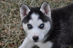 """I am not a """"dog"""" person but I have always wanted one of these!! But I want one with one blue eye and one brown eye"""