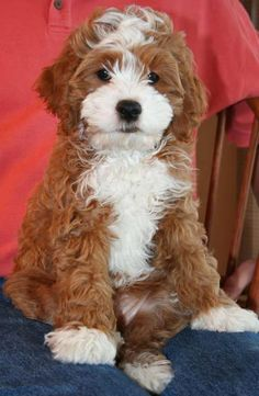 cockalier poodle: cocker spaniel, cavalier king charles spaneil, and poodle. OMG I WANT!