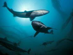 Dogfin sharks