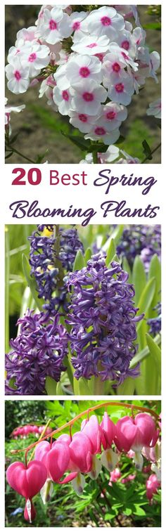 These are 20 of my favorite spring blooming plants. These plants, shrubs and trees are the earliest flowers to appear in the garden after a long cold winter and welcome spring in a dramatic way.