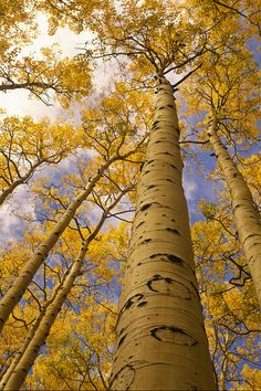 ✮ Looking Up At Towering Aspen Trees