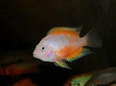 pink convict cichlid, female very prolific! Colorful Fish, Tropical Fish, Beautiful Fish, Beautiful Horses, Big Aquarium, Aquarium Ideas, South American Cichlids, Plecostomus, Cichlid Fish