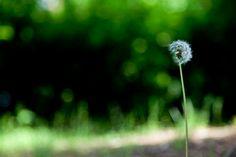 민들레 dandelion