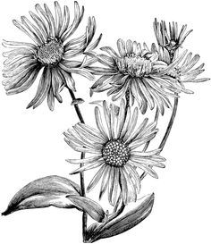 black and white drawing aster flower - Google Search