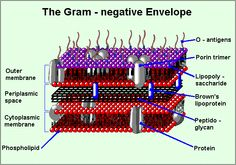 gram negative envelope