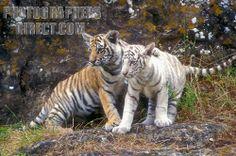 bengal tiger cubs | Stock Photography image of Two Bengal Tiger Cubs ( Pantera tigris ...