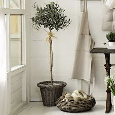 olive topiary and grey washed rattan LOVE LOVE LOVE