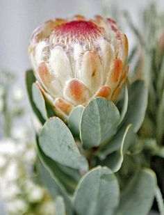 Protea Art, Protea Flower, Flora Flowers, Exotic Flowers, Beautiful Flowers, South African Flowers, Protea Wedding, Plant Fungus, California Garden