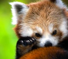 I love red pandas. I remember going to the Knoxville Zoo with my parents when I was a little girl to see their new exhibit of red pandas. I've loved them ever since.