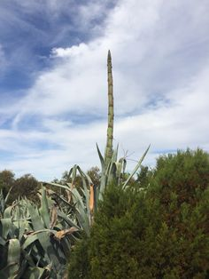 The cactus has a flower at maturity around 7 to 14 yrs. this is the flower spur, in a few weeks it will open ashame we will miss it.. Very spectacular when in bloom..