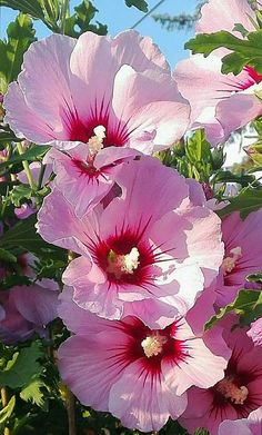 My favorite flower! Hibiscus. So cheerful and pretty.